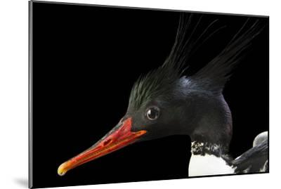 An Endangered Male Scaly Sided Merganser, Mergus Squamatus, at Sylvan Heights Bird Park-Joel Sartore-Mounted Photographic Print