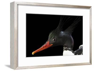An Endangered Male Scaly Sided Merganser, Mergus Squamatus, at Sylvan Heights Bird Park-Joel Sartore-Framed Photographic Print