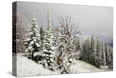 Fallen Snow in Beartooth, Wyoming-Charlie James-Stretched Canvas Print