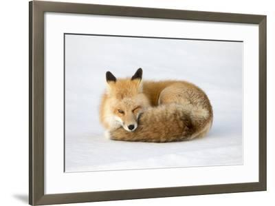 A Red Fox, Vulpes Vulpes, Curled Up on the Snow-Robbie George-Framed Photographic Print