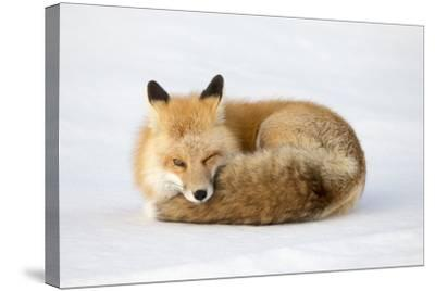 A Red Fox, Vulpes Vulpes, Curled Up on the Snow-Robbie George-Stretched Canvas Print