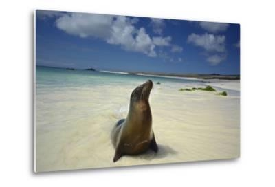 A Galapagos Sea Lion, Zalophus Wollebaeki, on Beach in the Galapagos Islands, Ecuador-Kike Calvo-Metal Print