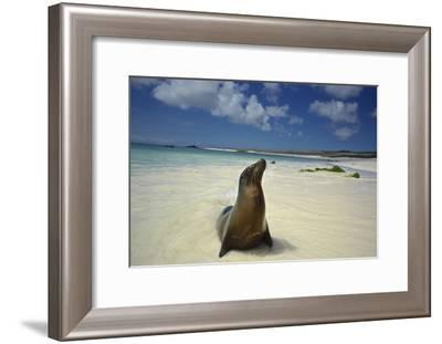 A Galapagos Sea Lion, Zalophus Wollebaeki, on Beach in the Galapagos Islands, Ecuador-Kike Calvo-Framed Photographic Print