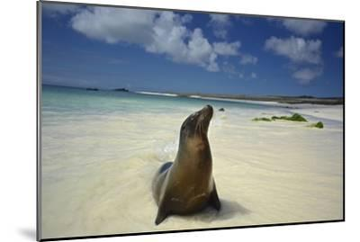 A Galapagos Sea Lion, Zalophus Wollebaeki, on Beach in the Galapagos Islands, Ecuador-Kike Calvo-Mounted Photographic Print