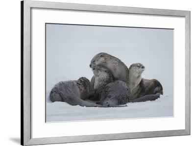 North American River Otters on the Frozen Snake River in Grand Teton National Park-Charlie James-Framed Photographic Print