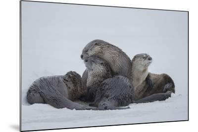 North American River Otters on the Frozen Snake River in Grand Teton National Park-Charlie James-Mounted Photographic Print