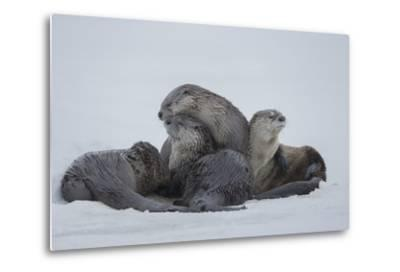 North American River Otters on the Frozen Snake River in Grand Teton National Park-Charlie James-Metal Print