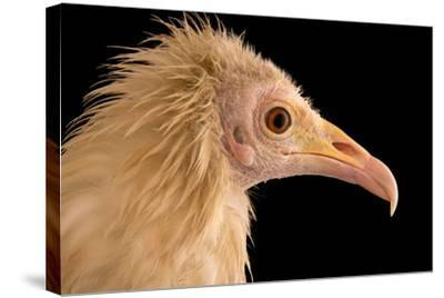 An Egyptian Vulture at Parco Natura Viva, in Bussolengo, Italy-Joel Sartore-Stretched Canvas Print