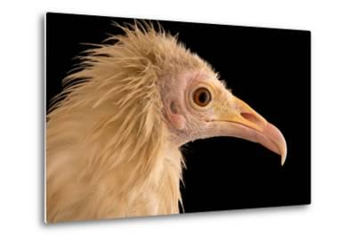 An Egyptian Vulture at Parco Natura Viva, in Bussolengo, Italy-Joel Sartore-Metal Print