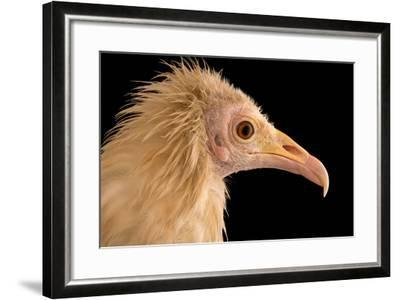An Egyptian Vulture at Parco Natura Viva, in Bussolengo, Italy-Joel Sartore-Framed Photographic Print
