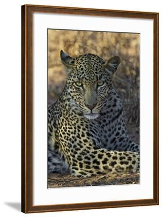 A Leopard Rests in South Africa's Timbavati Game Reserve-Steve Winter-Framed Photographic Print