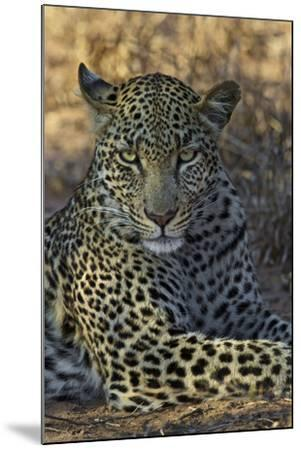 A Leopard Rests in South Africa's Timbavati Game Reserve-Steve Winter-Mounted Photographic Print