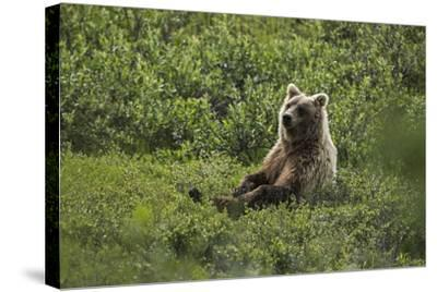 A Grizzly Bear Sitting in Denali National Park and Preserve-Aaron Huey-Stretched Canvas Print
