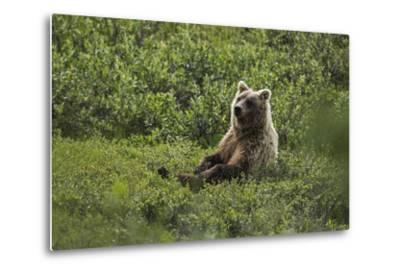 A Grizzly Bear Sitting in Denali National Park and Preserve-Aaron Huey-Metal Print