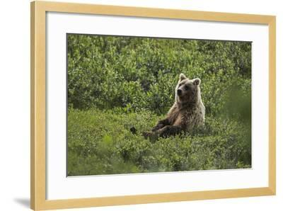 A Grizzly Bear Sitting in Denali National Park and Preserve-Aaron Huey-Framed Photographic Print