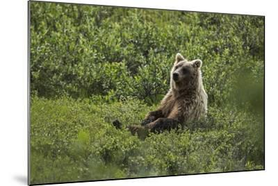 A Grizzly Bear Sitting in Denali National Park and Preserve-Aaron Huey-Mounted Photographic Print