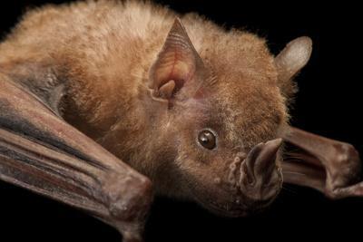 A Jamaican Fruit Bat, Artibeus Jamaicensis, at the Houston Zoo-Joel Sartore-Framed Photographic Print