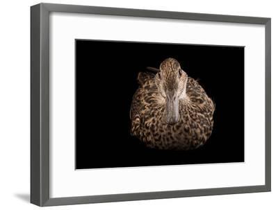 An Eurasian Green Winged Teal, Anas Crecca, at the Sylvan Heights Bird Park-Joel Sartore-Framed Photographic Print