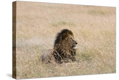 Portrait of a Male Lion, Panthera Leo, Masai Mara, Kenya-Sergio Pitamitz-Stretched Canvas Print