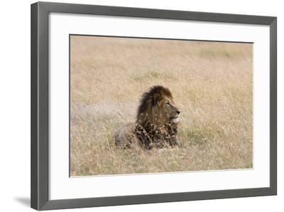 Portrait of a Male Lion, Panthera Leo, Masai Mara, Kenya-Sergio Pitamitz-Framed Photographic Print
