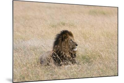 Portrait of a Male Lion, Panthera Leo, Masai Mara, Kenya-Sergio Pitamitz-Mounted Photographic Print
