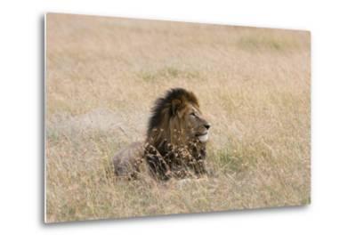 Portrait of a Male Lion, Panthera Leo, Masai Mara, Kenya-Sergio Pitamitz-Metal Print