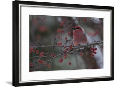 A Grosbeak Perches on a Tree Branch in Grand Teton National Park-Charlie James-Framed Photographic Print