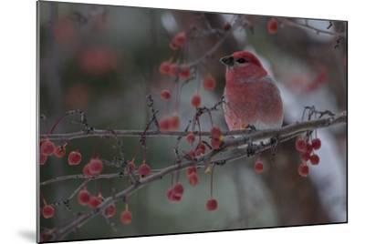A Grosbeak Perches on a Tree Branch in Grand Teton National Park-Charlie James-Mounted Photographic Print