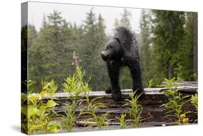 A Black Bear, Ursus Americanus, Shakes Water Off Himself-Jill Schneider-Stretched Canvas Print