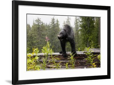 A Black Bear, Ursus Americanus, Shakes Water Off Himself-Jill Schneider-Framed Photographic Print