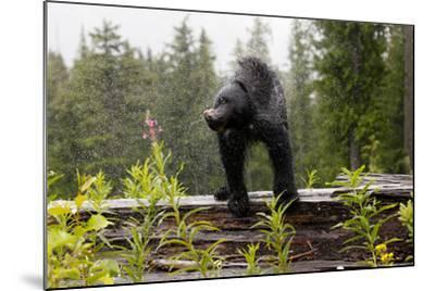 A Black Bear, Ursus Americanus, Shakes Water Off Himself-Jill Schneider-Mounted Photographic Print