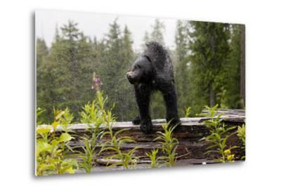 A Black Bear, Ursus Americanus, Shakes Water Off Himself-Jill Schneider-Metal Print