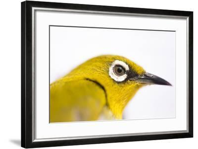 Portrait of an Oriental White-Eye, Zosterops Palpebrosus-Prasenjeet Yadav-Framed Photographic Print