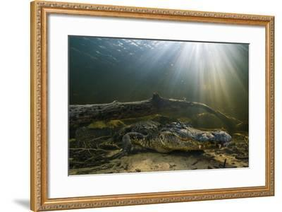An American Alligator Waits for Prey at the Bottom of a Cypress Swamp-Keith Ladzinski-Framed Photographic Print