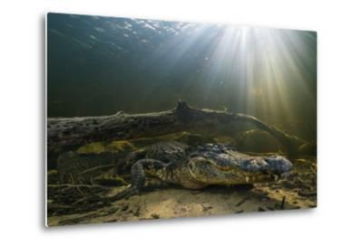 An American Alligator Waits for Prey at the Bottom of a Cypress Swamp-Keith Ladzinski-Metal Print