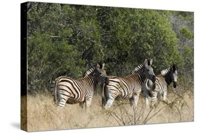 Three Zebras Stand in Tall Grass-Steve Winter-Stretched Canvas Print