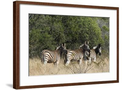 Three Zebras Stand in Tall Grass-Steve Winter-Framed Photographic Print