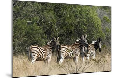Three Zebras Stand in Tall Grass-Steve Winter-Mounted Photographic Print