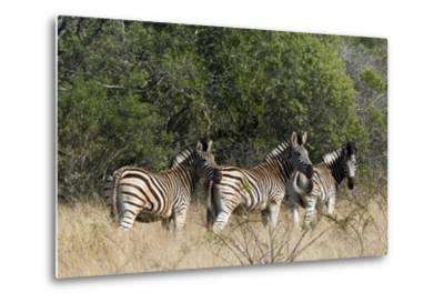 Three Zebras Stand in Tall Grass-Steve Winter-Metal Print