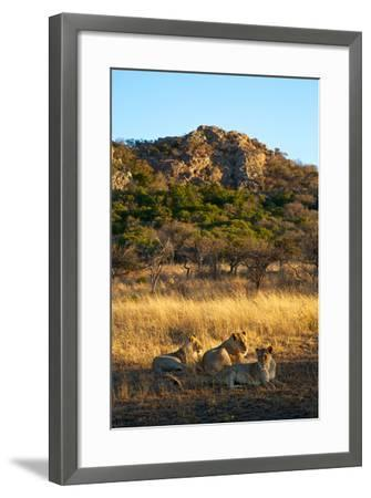 A Lioness and Her Cubs Rest in the Phinda Game Reserve-Steve Winter-Framed Photographic Print