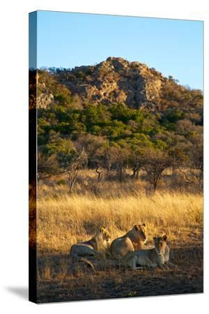 A Lioness and Her Cubs Rest in the Phinda Game Reserve-Steve Winter-Stretched Canvas Print