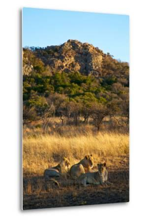 A Lioness and Her Cubs Rest in the Phinda Game Reserve-Steve Winter-Metal Print
