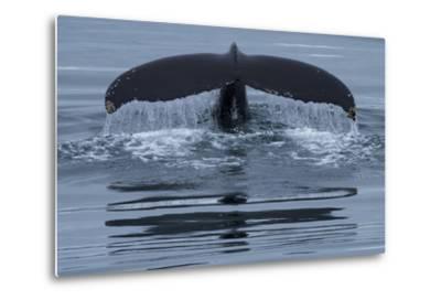 The Fluke of a Humpback Whale, Megaptera Novaeangliae, Off the Coast of Iceland-Michael Melford-Metal Print