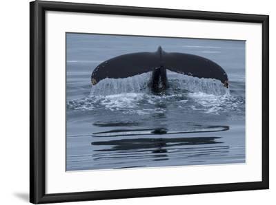 The Fluke of a Humpback Whale, Megaptera Novaeangliae, Off the Coast of Iceland-Michael Melford-Framed Photographic Print
