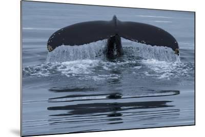 The Fluke of a Humpback Whale, Megaptera Novaeangliae, Off the Coast of Iceland-Michael Melford-Mounted Photographic Print