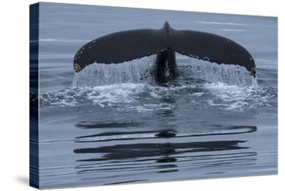 The Fluke of a Humpback Whale, Megaptera Novaeangliae, Off the Coast of Iceland-Michael Melford-Stretched Canvas Print