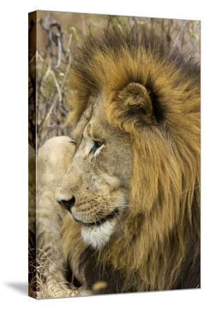 A Male Lion Rests in Grass-Steve Winter-Stretched Canvas Print