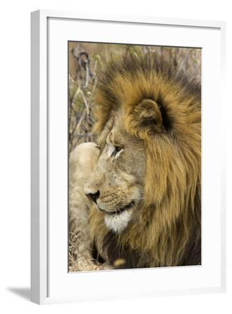A Male Lion Rests in Grass-Steve Winter-Framed Photographic Print