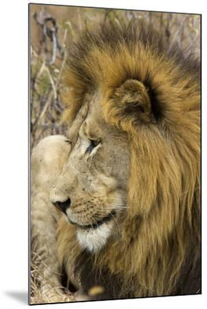 A Male Lion Rests in Grass-Steve Winter-Mounted Photographic Print