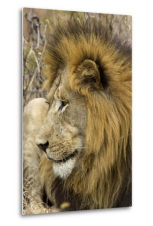 A Male Lion Rests in Grass-Steve Winter-Metal Print